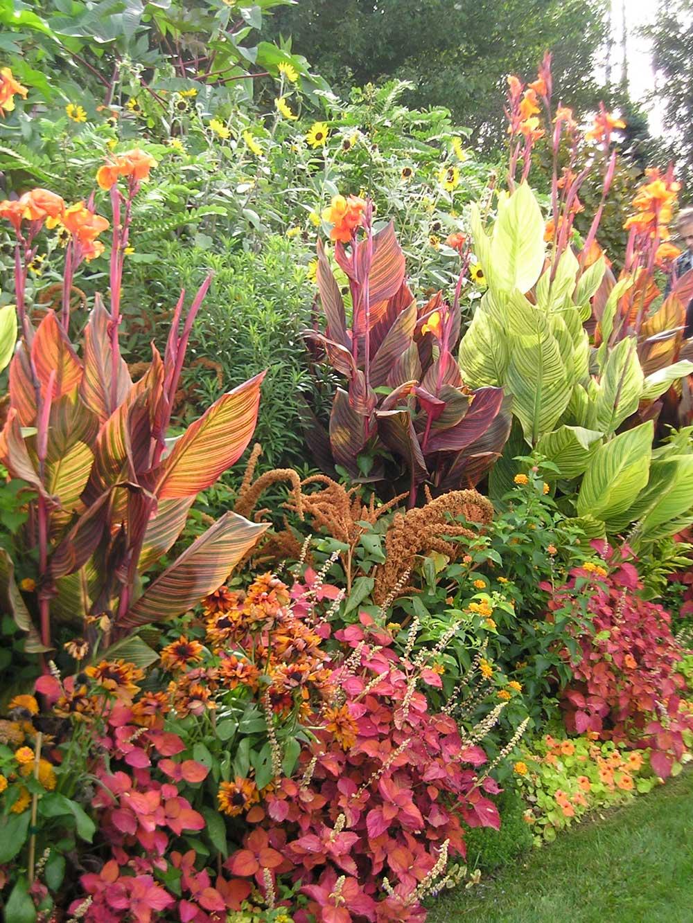 Cannas-in-Hot-Border-Longfield-Gardens Cannas Garden Designs With Sedum on garden design with liriope, garden design with delphinium, garden design with daylilies, garden design with rose bushes, garden design with bougainvillea,