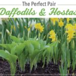 The Perfect Pair: Daffodils and Hostas