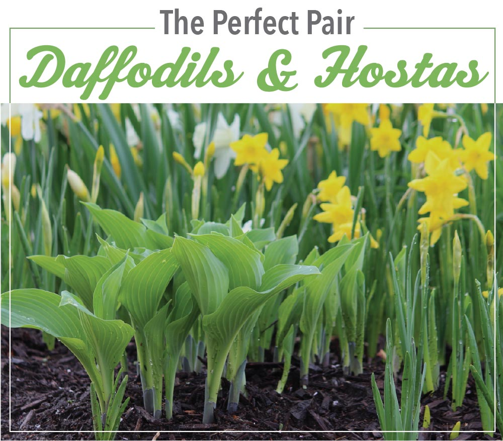 The Perfect Pair Daffodils and Hostas - Longfield Gardens