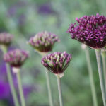 Allium - Fireworks in the Garden and In Your Home