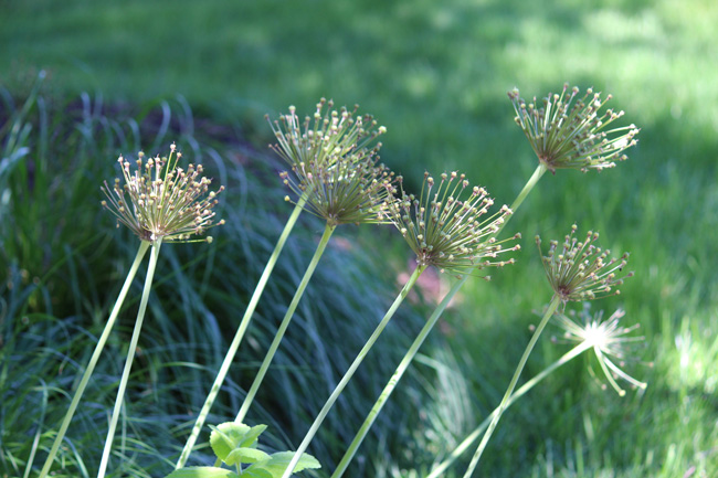 Allium Fireworks In The Garden And In Your Home Longfield Gardens