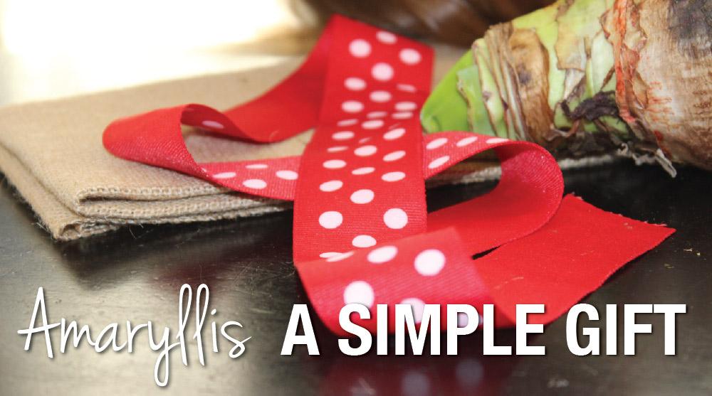 Amaryllis A Simple Gift - Longfield Gardens