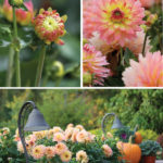 Garden Inspiration: Border Dahlias Around Our Homes