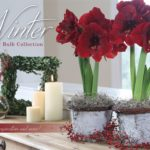 Amaryllis and Paperwhites: Inspiration Is Everywhere!