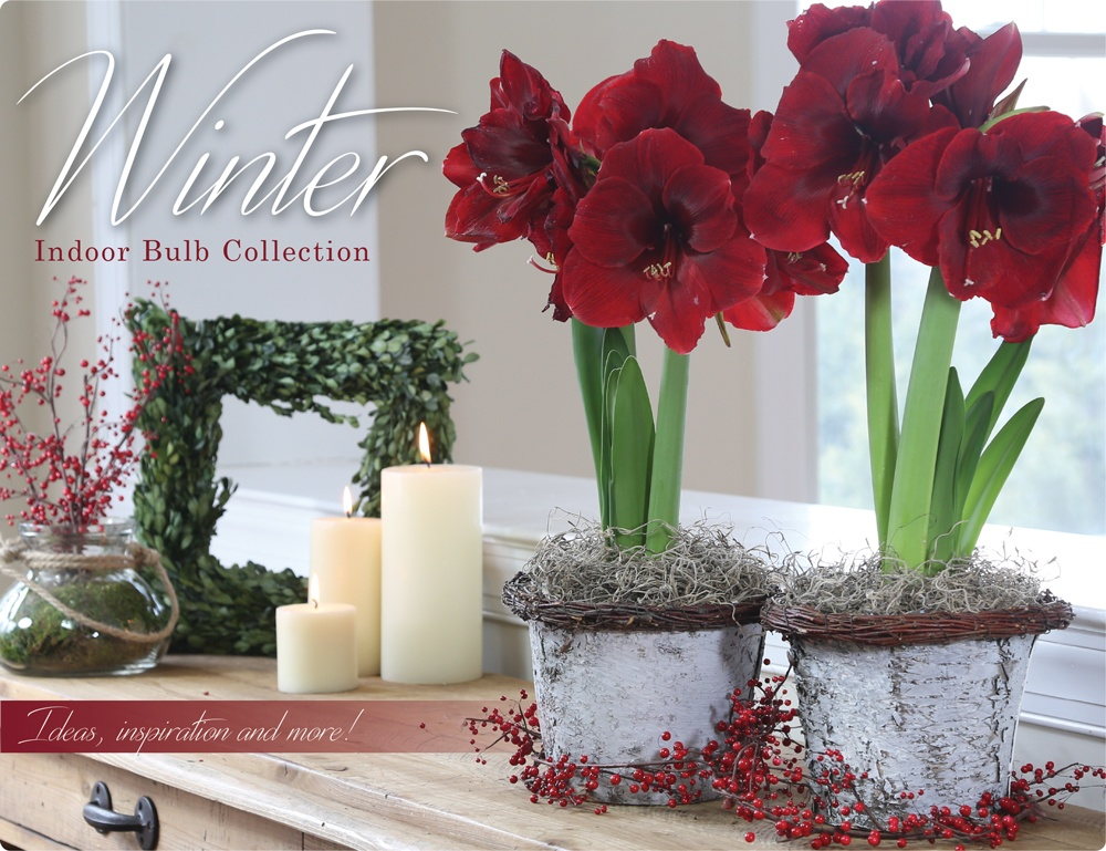 Amaryllis And Paperwhites Inspiration Is Everywhere Longfield