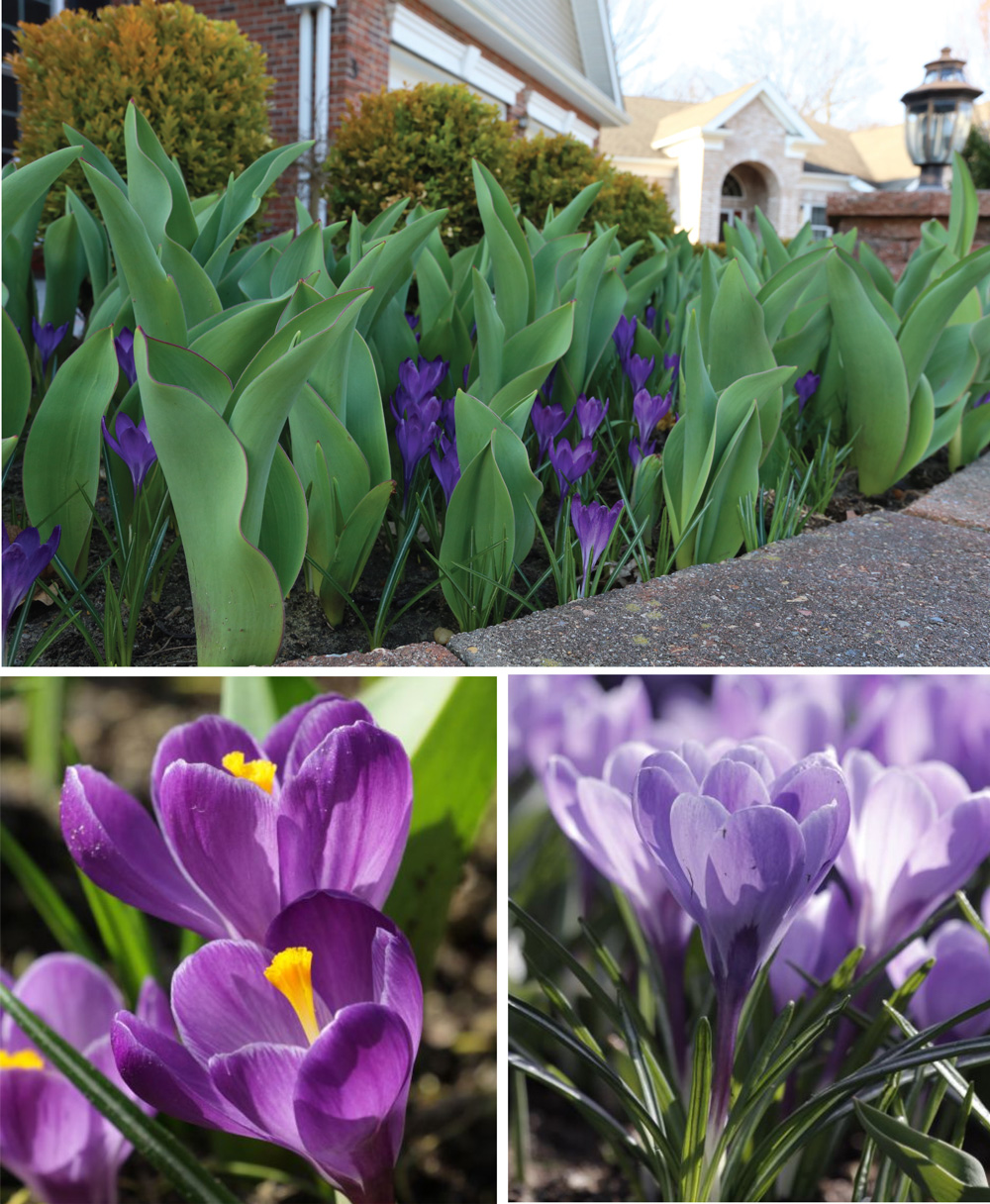crocus-and-tulips