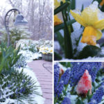 Snow Over Spring Flowers
