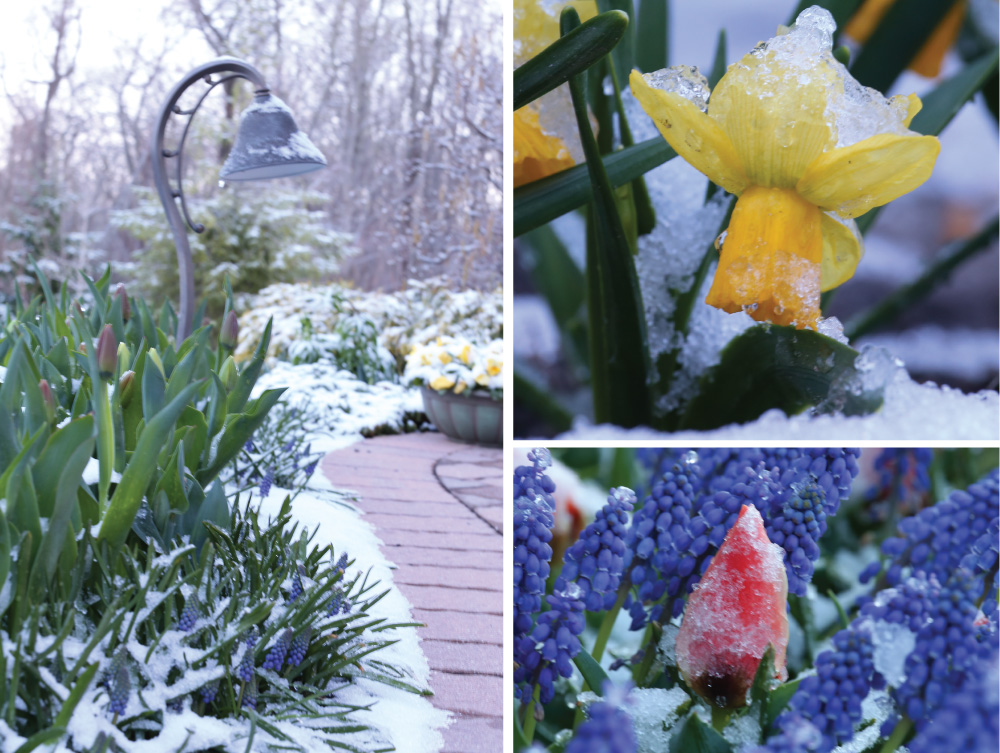 Snow Over Spring Flowers Longfield Gardens
