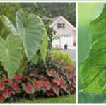 Growing Elephant Ears in Your Home and Garden