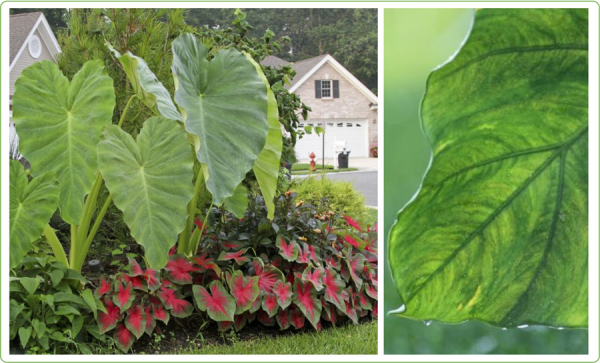 Growing Elephant Ears in Your Home and Garden - Longfield Gardens