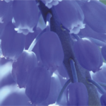 Magnificent Muscari - Blooming Now!