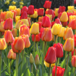 A Tulip of Many Colors
