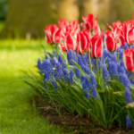 Muscari As A Companion Plant