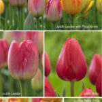 Breeding a Better Tulip