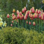 What to Plant Now: Darwin Hybrid Tulips
