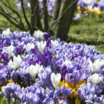Spring Bulbs for Naturalizing