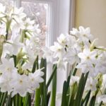 6 Tips for Growing Paperwhites