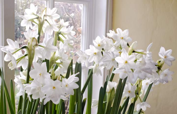 6 tips for growing paperwhites longfield gardens mightylinksfo