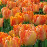Flamboyant Parrot Tulips
