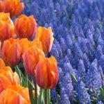 Fragrant Spring-Blooming Bulbs
