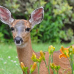 Protecting Gardens from Deer