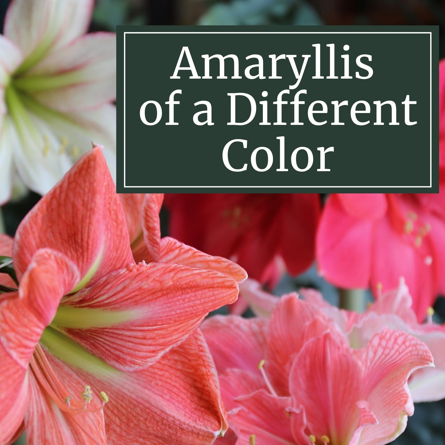 Amaryllis of a Different Color - Longfield Gardens