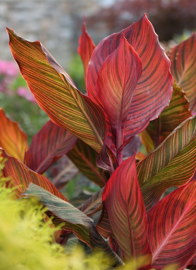 Wow Plants For Your Summer Garden Tropicanna Canna Lilies