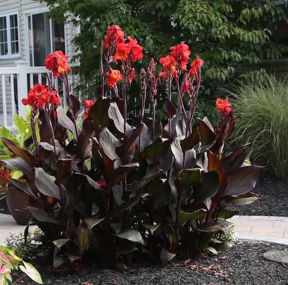 Wow Plants For Your Summer Garden: Tropicanna Canna Lilies