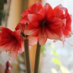 What to Do with Amaryllis Bulbs After They Bloom