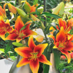New for 2015: Kaveri Oriental-Asiatic Lily