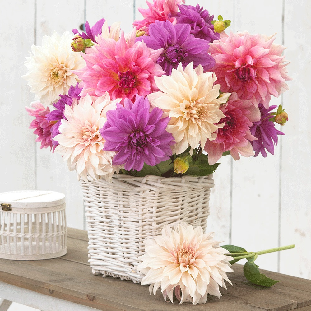 Dinnerplate Dahlia Bouquet