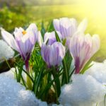 Why Snow is Good for Spring Bulbs