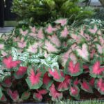 6 Tips for Growing Caladiums in Zones 5-7