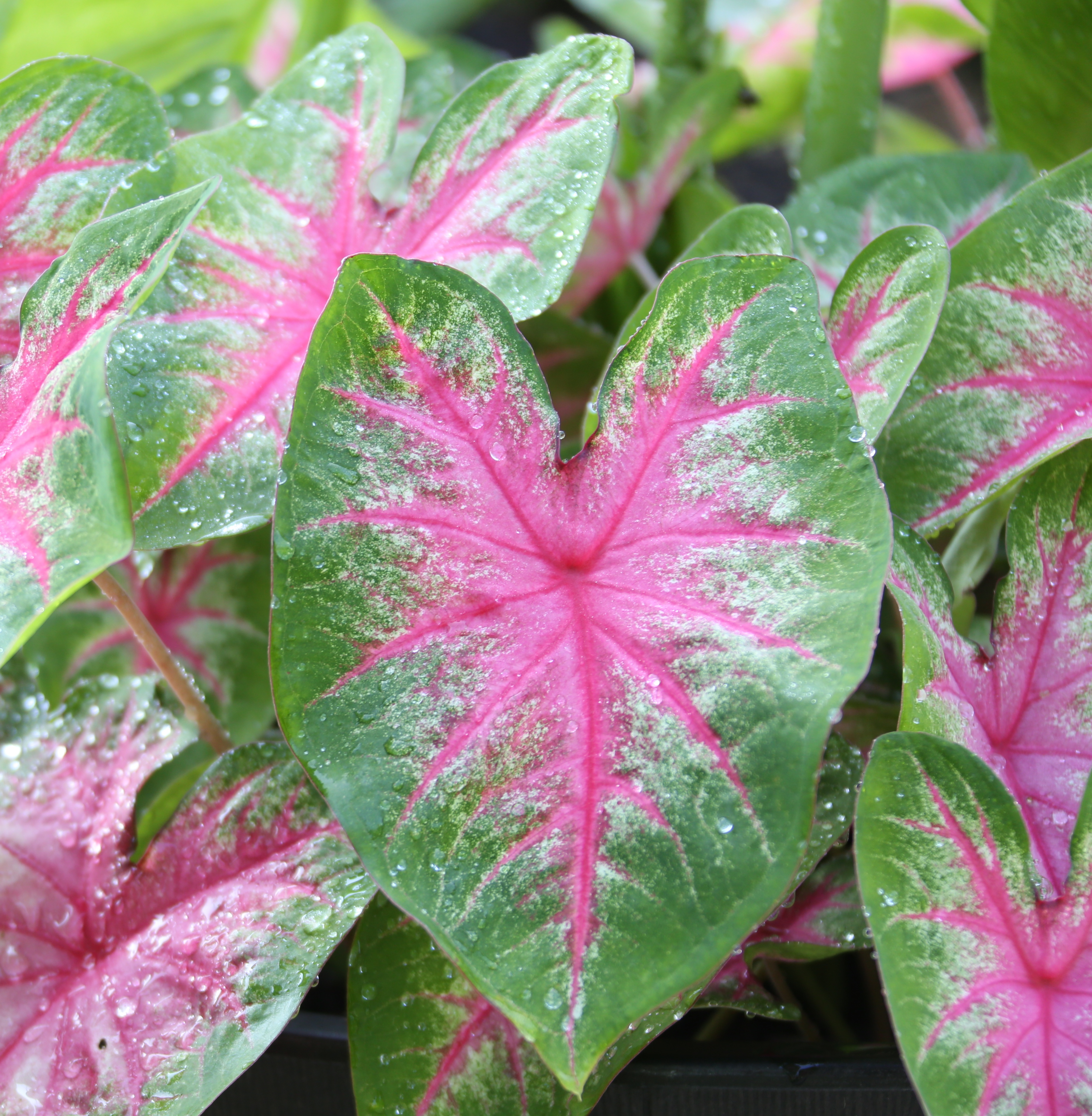 6 Tips For Growing Caladiums In Zones 5 7 Longfield Gardens