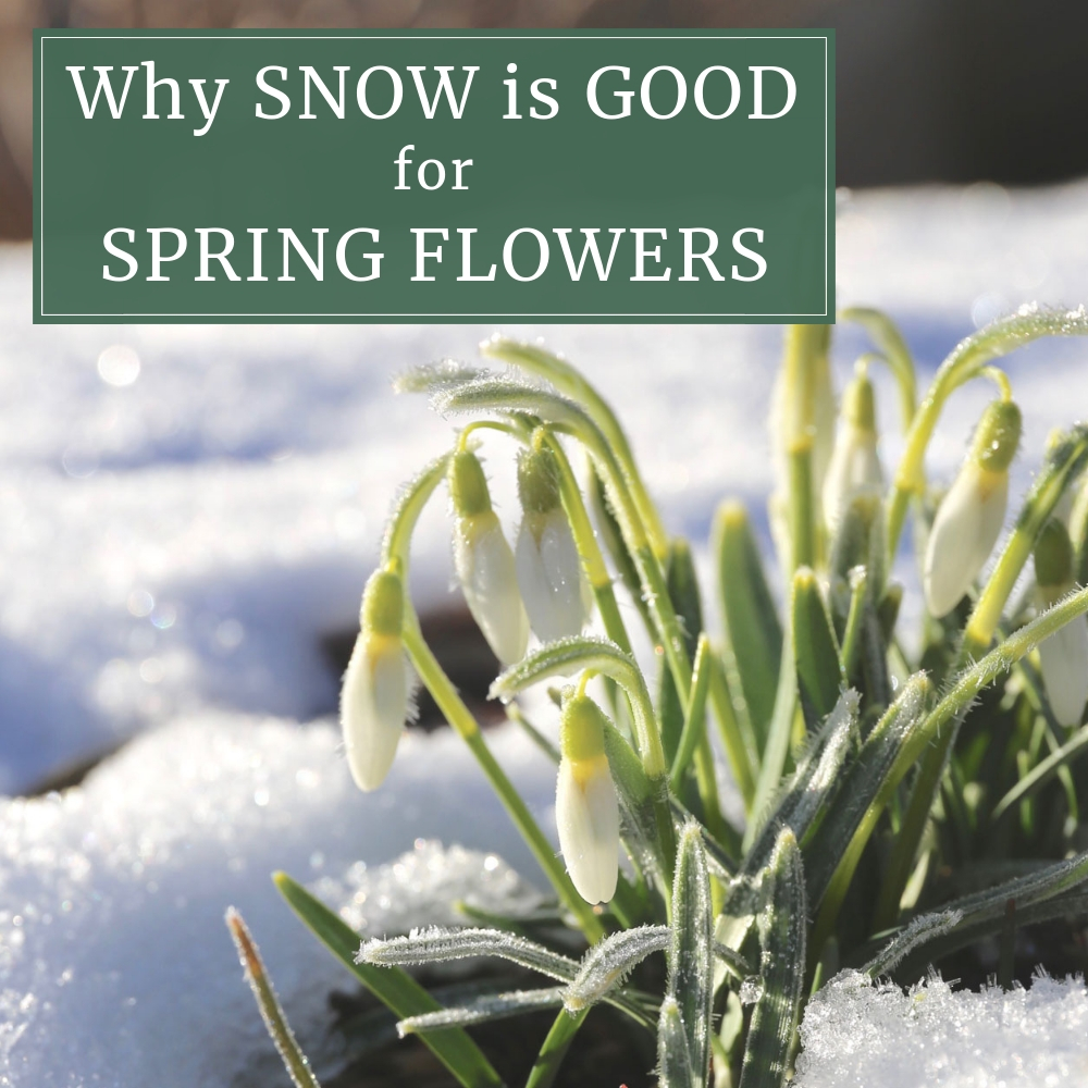Why Snow is Good for Spring Flowers