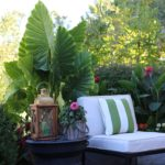 Elephant Ears: Late Summer Fireworks for Pots and Planters
