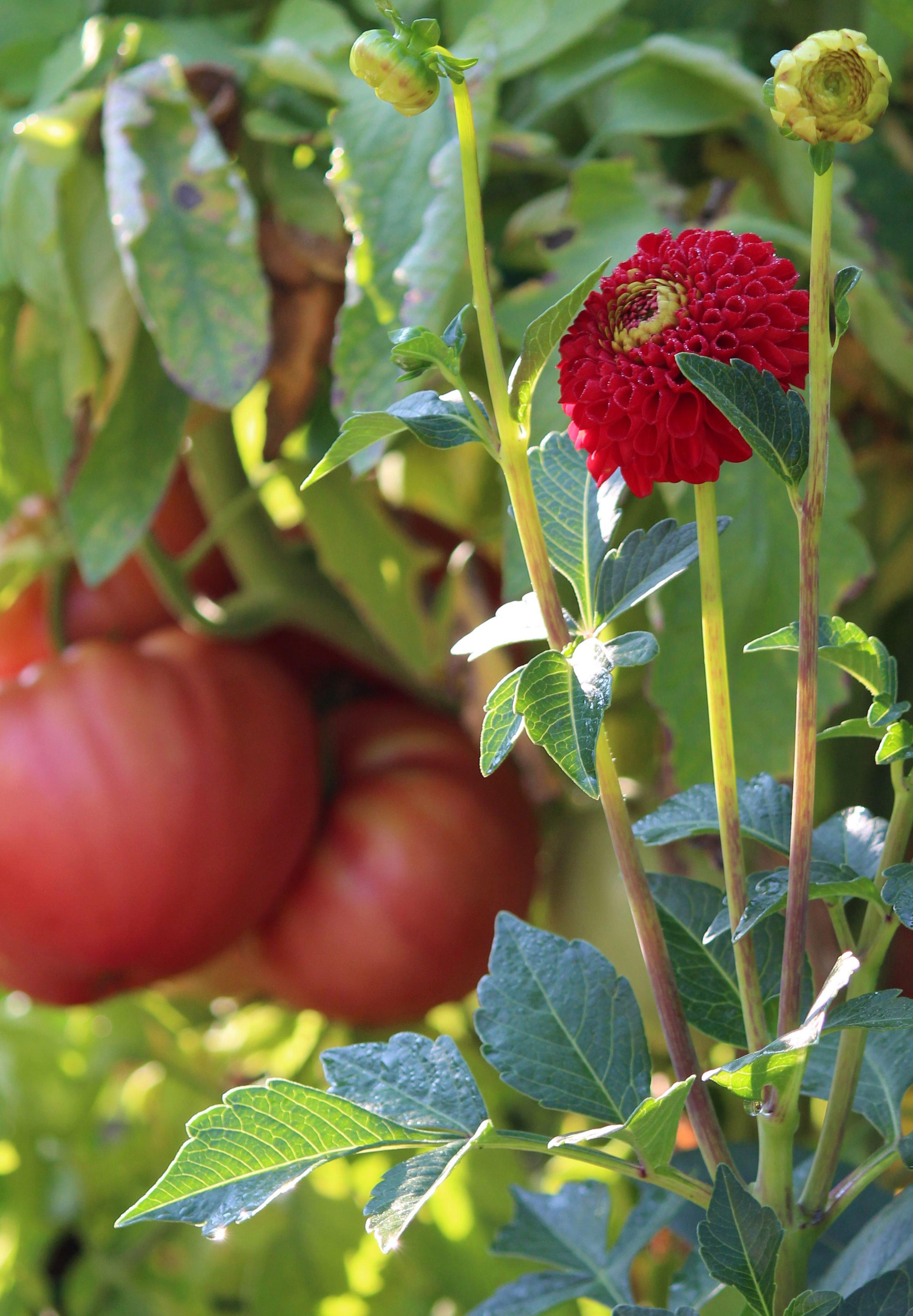Tomatoes_BoomBoomRed