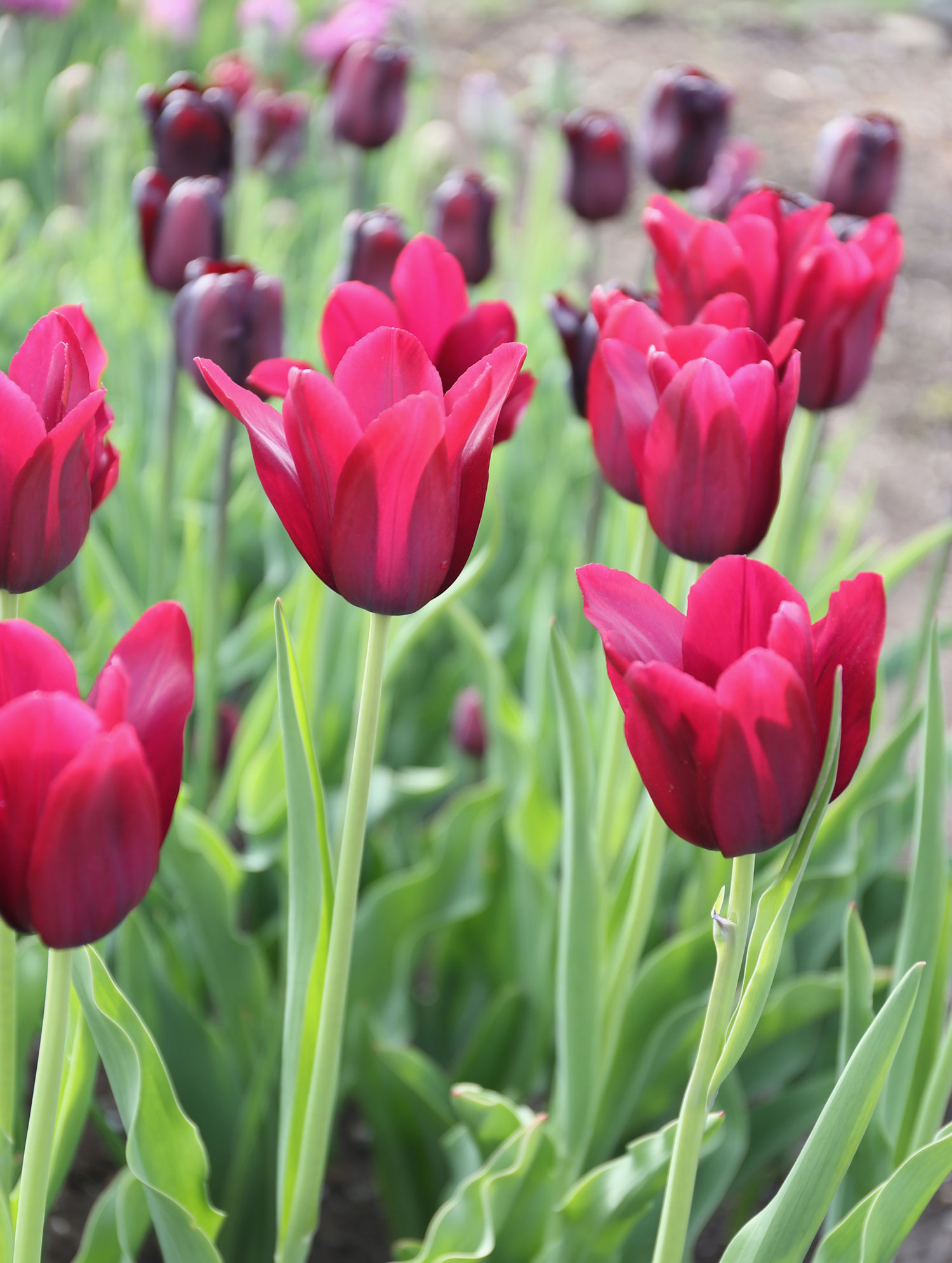 Flower Bulbs with Vegetables - Longfield Gardens