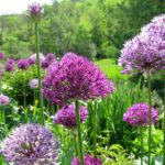 6 Reasons Your Flower Garden Needs Alliums