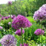 6 Reasons Your Flower Garden Needs Alliums