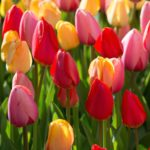 Spring-Blooming Bulbs: We Want Your Reviews!