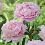 How to Stretch the Peony Season