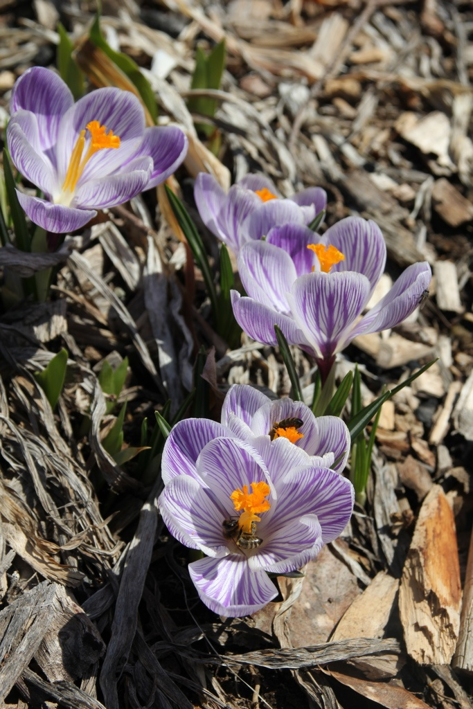 pickwick crocus with bees