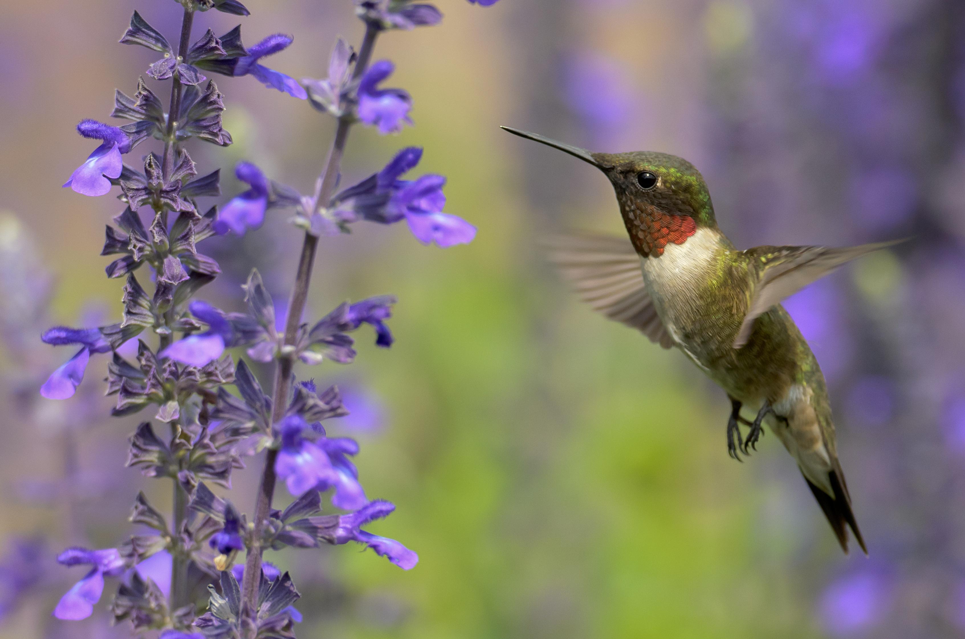 Which flowers do hummingbirds like best longfield gardens mightylinksfo