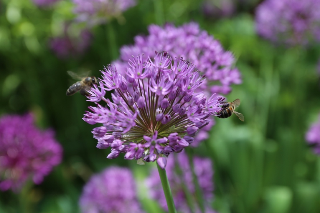 purple alliums with bees