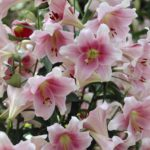 Fragrant Lilies for Your Summer Garden