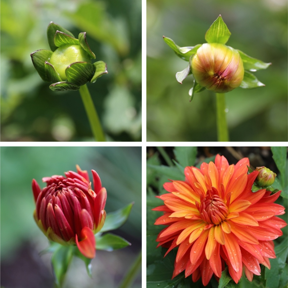 Dahlias from bud to bloom longfield gardens border dahlia bloom progression izmirmasajfo