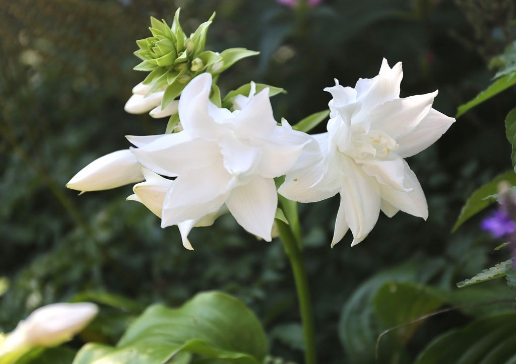 What's Your Favorite Hosta - Longfield Gardens
