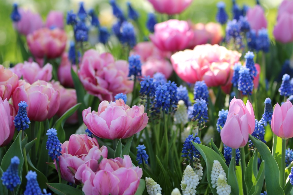 6 tips for planning a beautiful spring bulb garden longfield gardens double tulips with muscari mightylinksfo