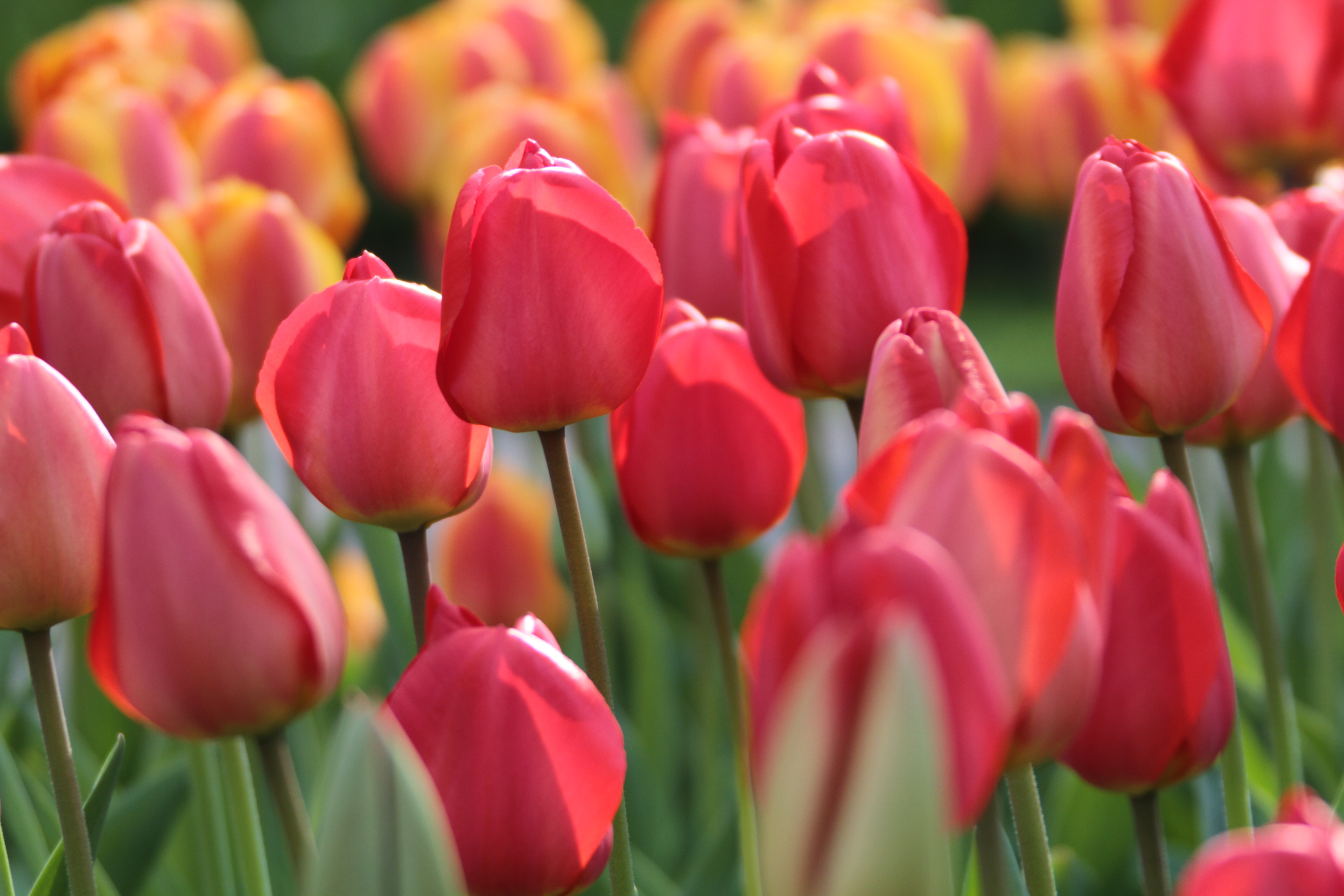 Tulip Timeless Favorites - Longfield Gardens